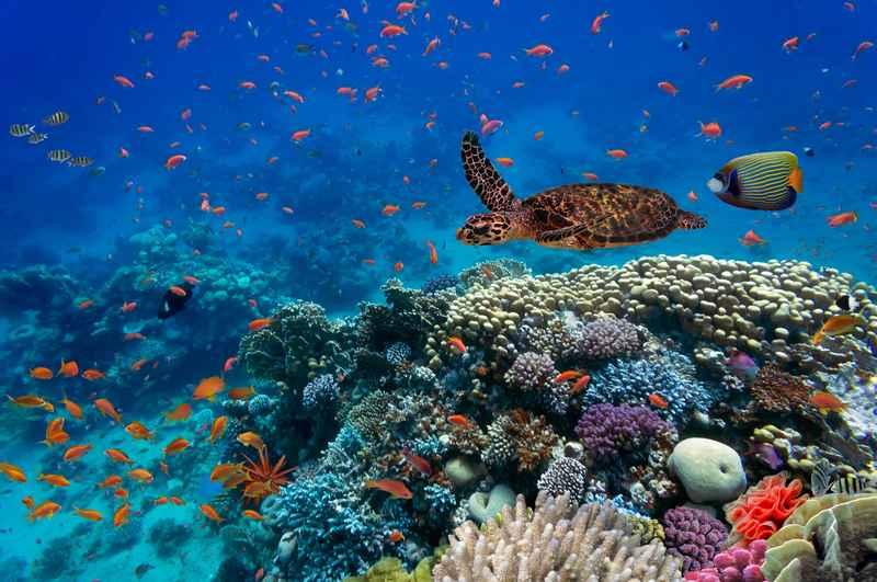 Skilpadde i vandet koralrev med fisk.jpg
