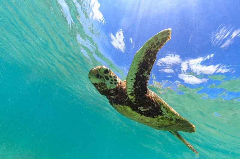 Mahalo Skilpadde svømmende i vandet mod overfladen.jpg