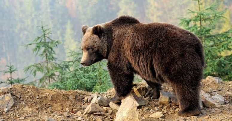 Bjørnens totemkraft: Styrke og indre fred - guidet af Hvide Ørn