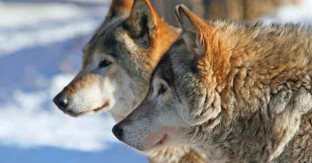 1005-ulvens-totemkraft-karina-bundgaard-1200x628.jpg