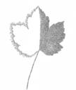 Planetenbäume Blätter PS 500x594 6 Ahorn Jupiter.png