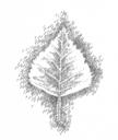 Planetenbäume Blätter PS 500x594 7 Birke Venus.png