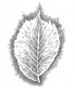 Planetenbäume Blätter PS 500x594 5 Ulme Merkur.png