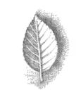 Planetenbäume Blätter PS 500x594 1 Buche Saturn.png
