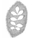 Planetenbäume Blätter PS 500x594 2 Esche Sonne.png