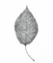 Planetenbäume Blätter PS 500x594 3 Kirsche Mond.png