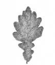 Planetenbäume Blätter PS 500x594 4 Eiche Mars.png