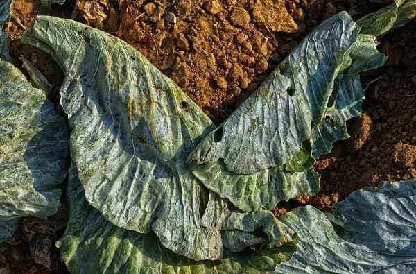 cabbage-leaf-3767950_1920.jpg
