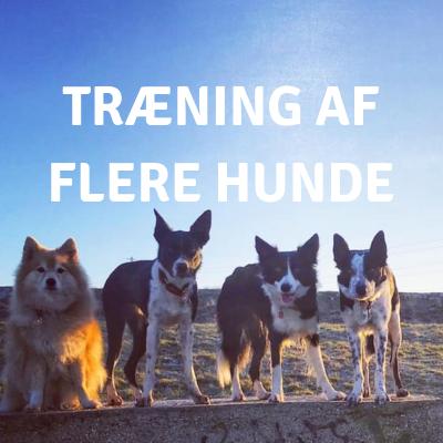 TRÆNING AF FLERE HUNDE.png
