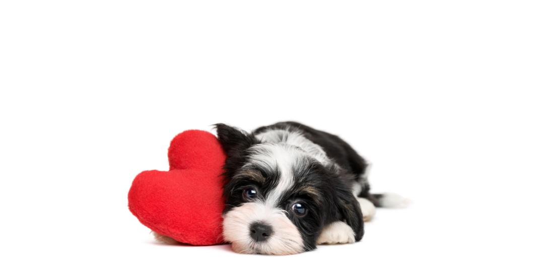 Lille nuttet hund med rødt hjerte.png