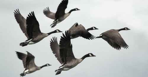 BL00 - Like the Wild Geese