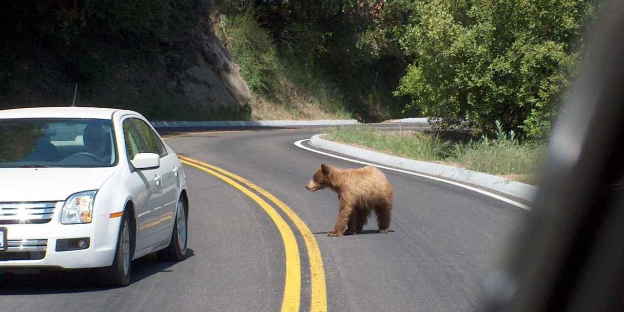 Beren op de weg AFT.jpg