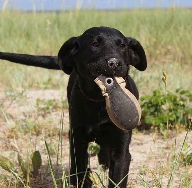 Juniortræning for den apporterende hund.