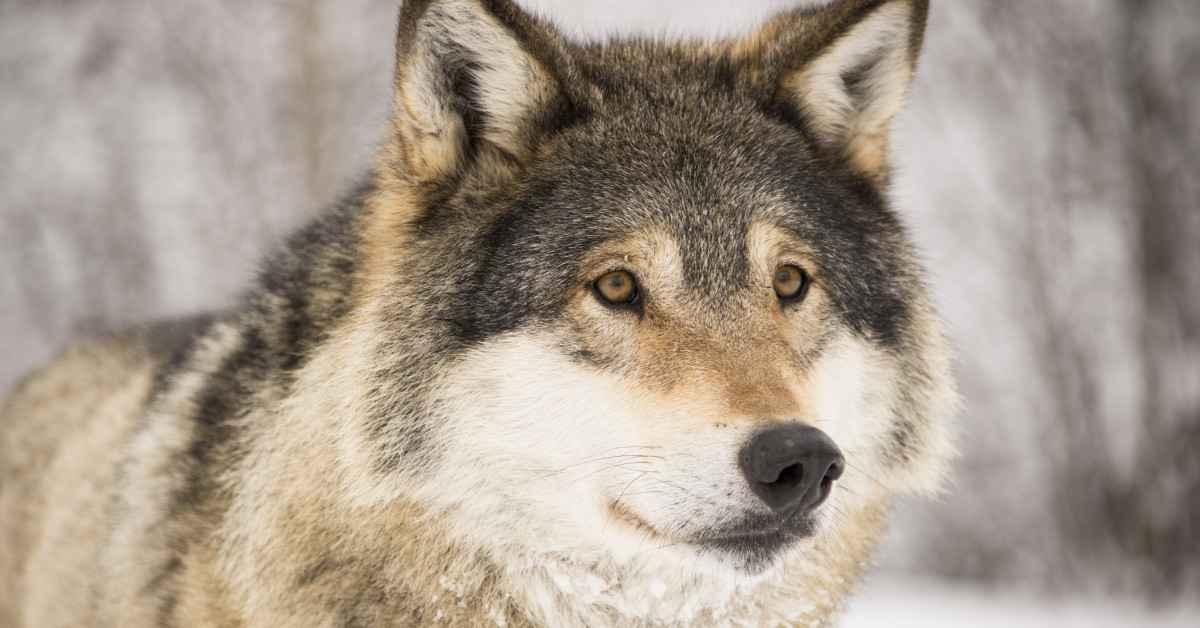 951-ulvens-visdom-og-kraft-karina-bundgaard-1200x628.jpg