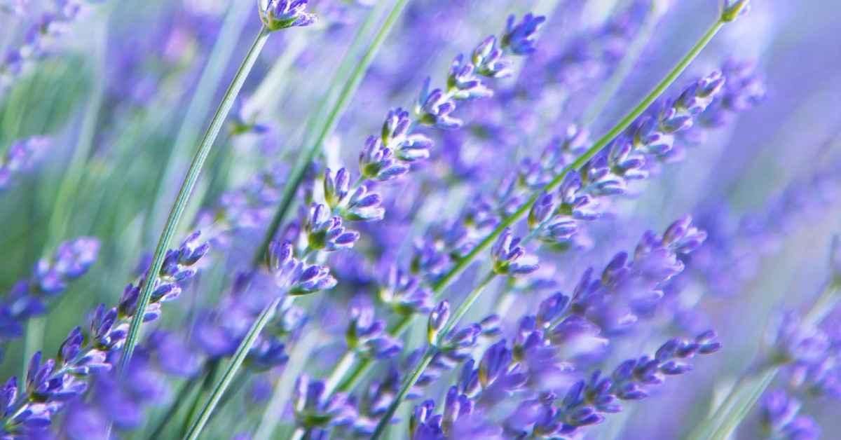 2230-lavendel-blomst-lilla-blaa-1200x628.jpg