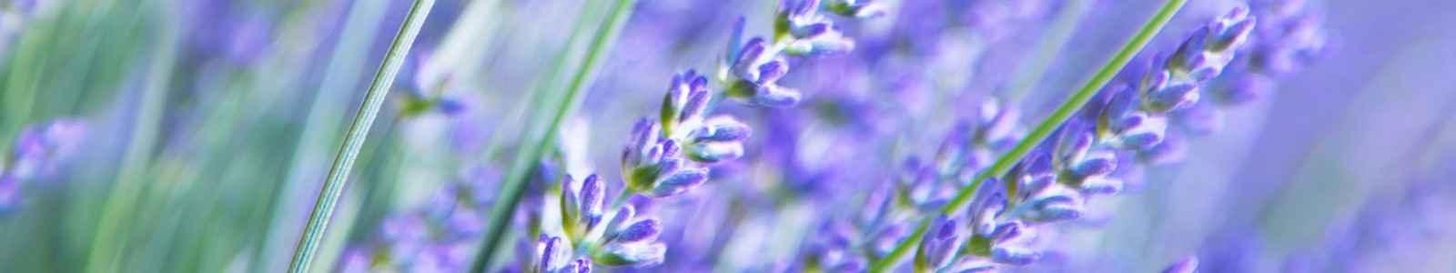 2231-lavendel-blomst-lilla-blaa-1600x300