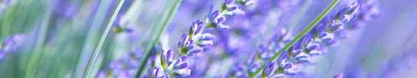 2231-lavendel-blomst-lilla-blaa-1600x300.jpg