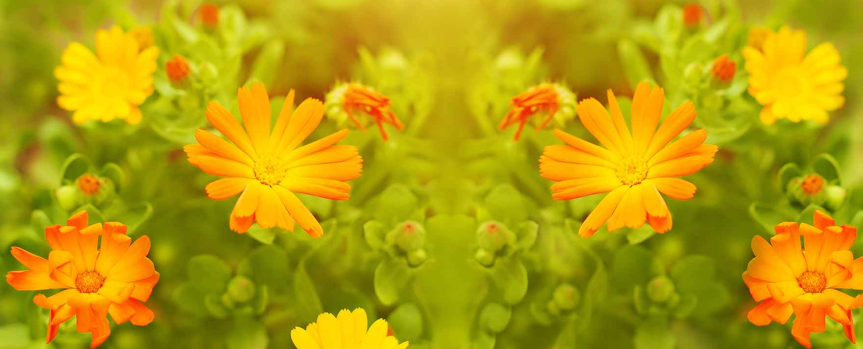 flowers.marigold panorama.dreamstime_xxl_116155377