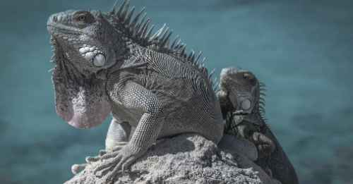 BL00 - We All Need to be the Iguana-Max-Quality