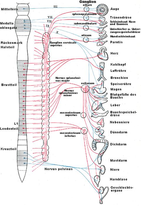 Parasympatikus-Wikipedia-Gray839-d