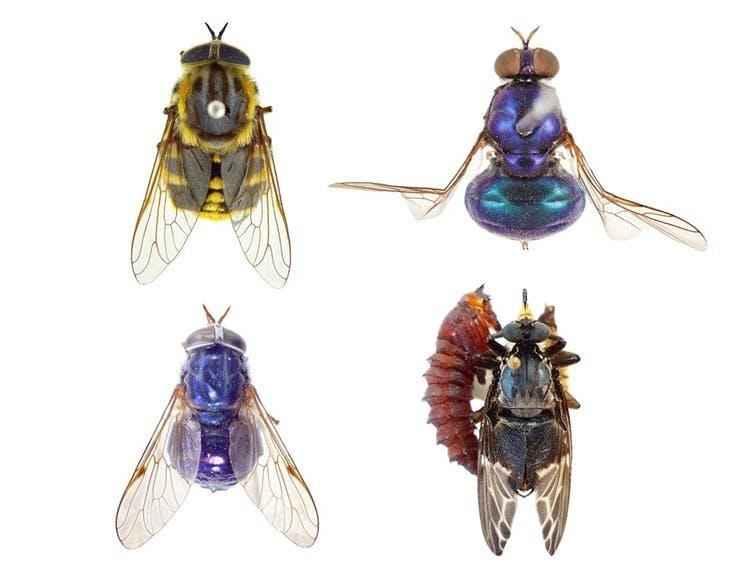 pesky-flies