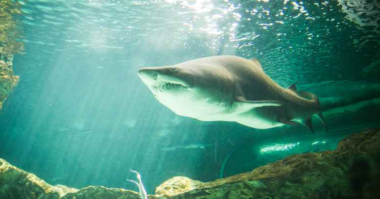 Hajernes Totemkraft | En rejse ind i den dyriske bevidstheds healende strømme