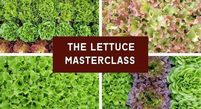 The Lettuce Masterclass