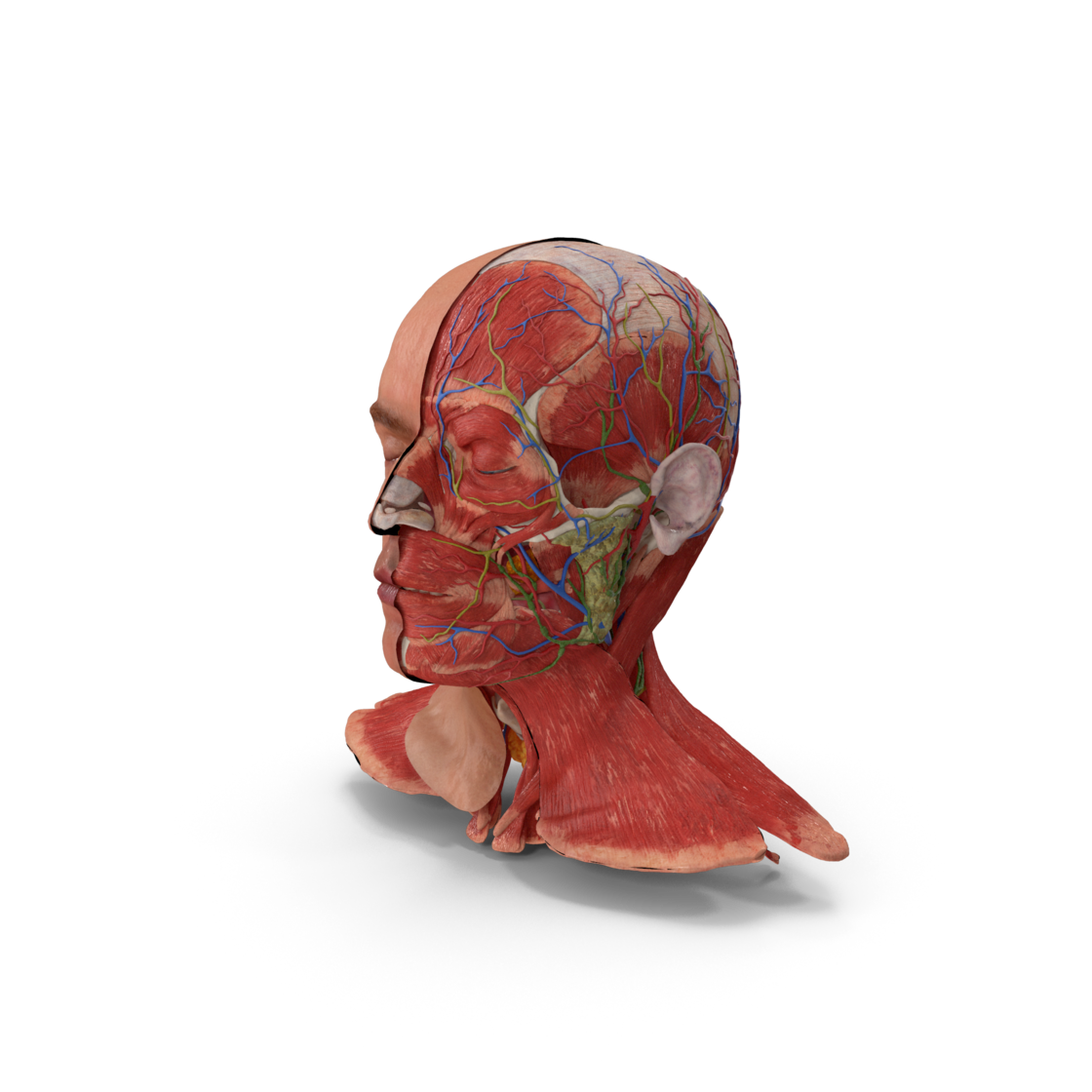 Anatomical Male Head Model with Neck.H03.2k
