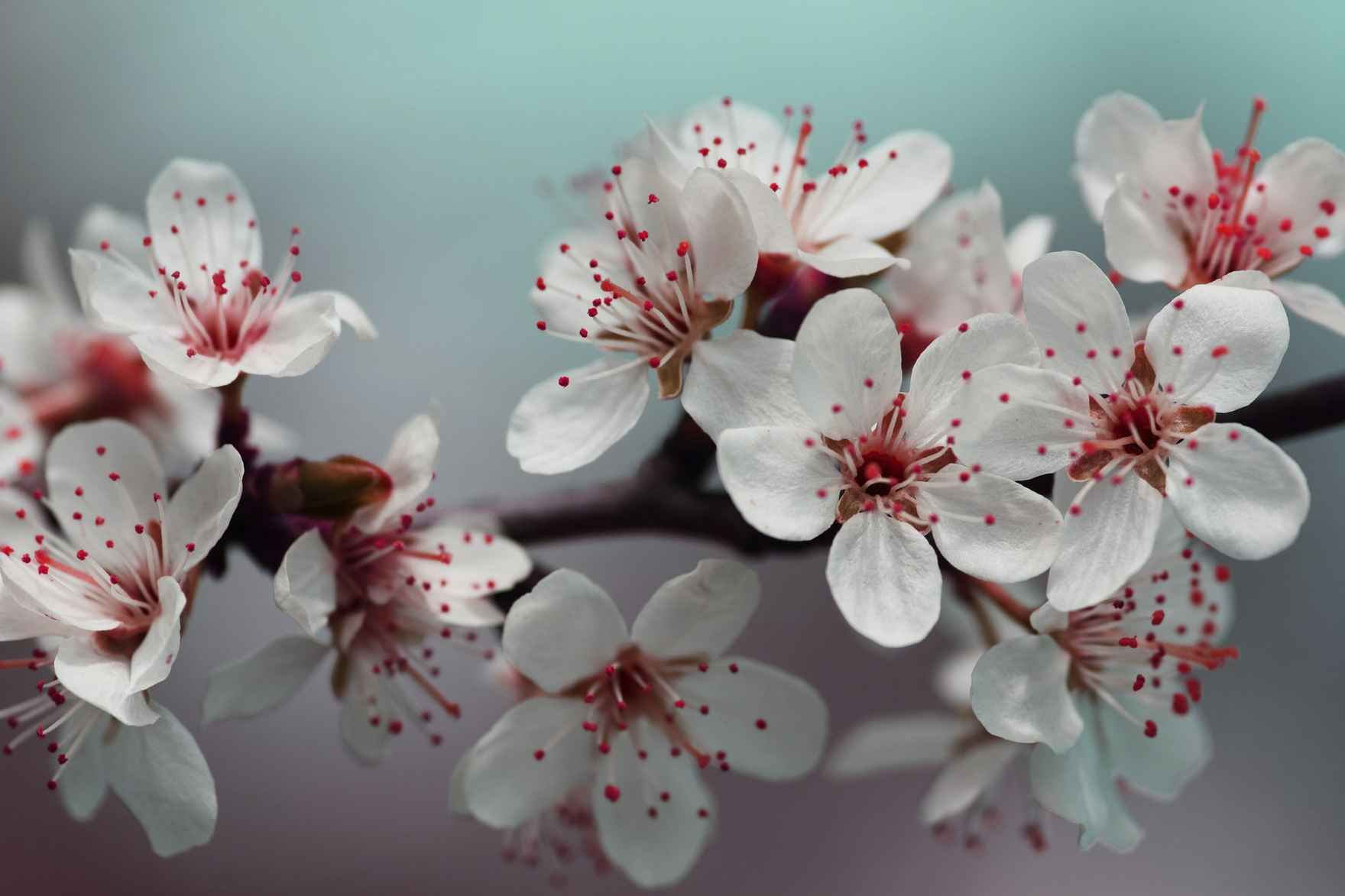 cherry blossom pink teal