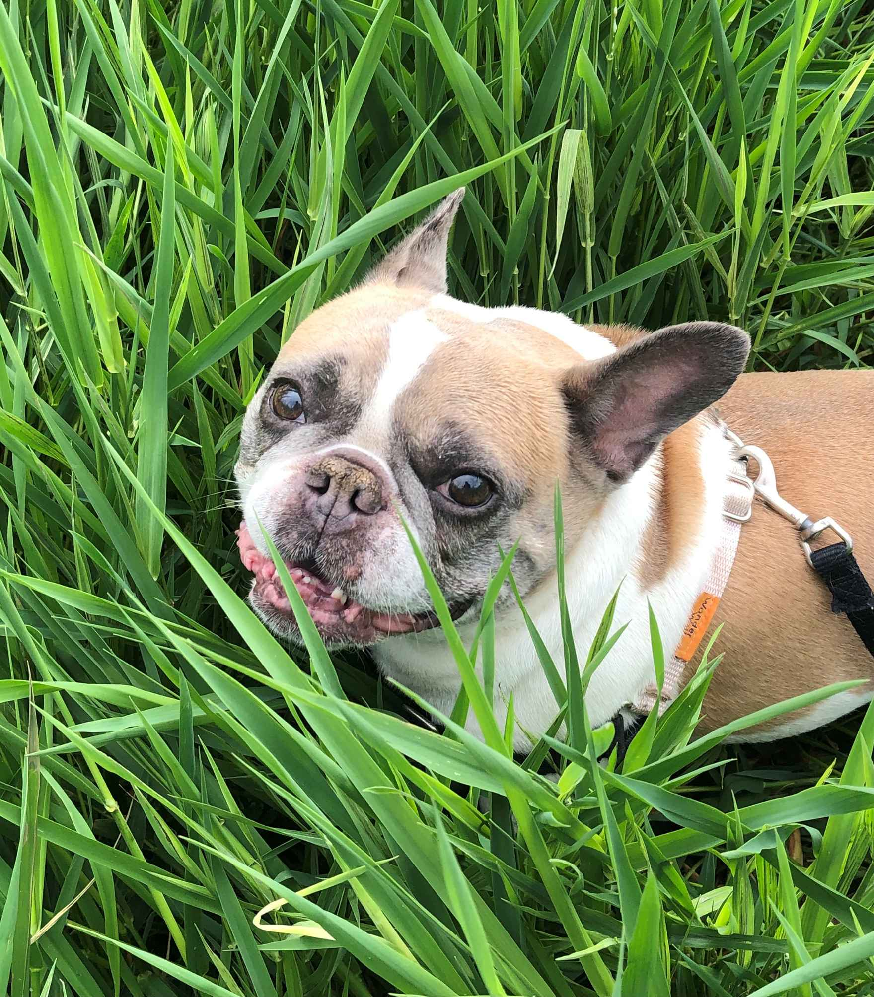joule at park in grass