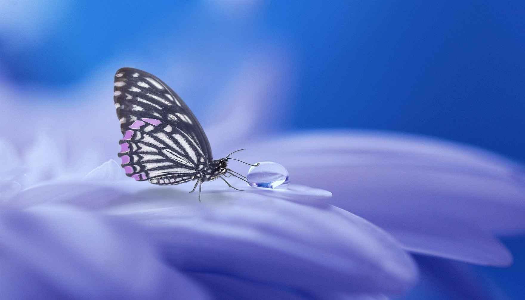 butterfly dew drop