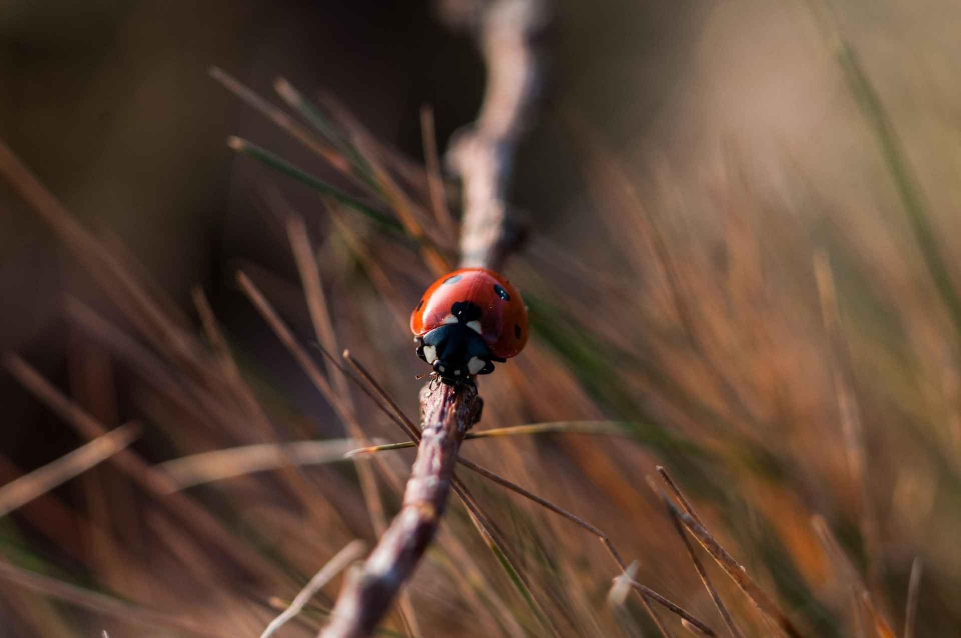 ladybug-crawl-lone-branch