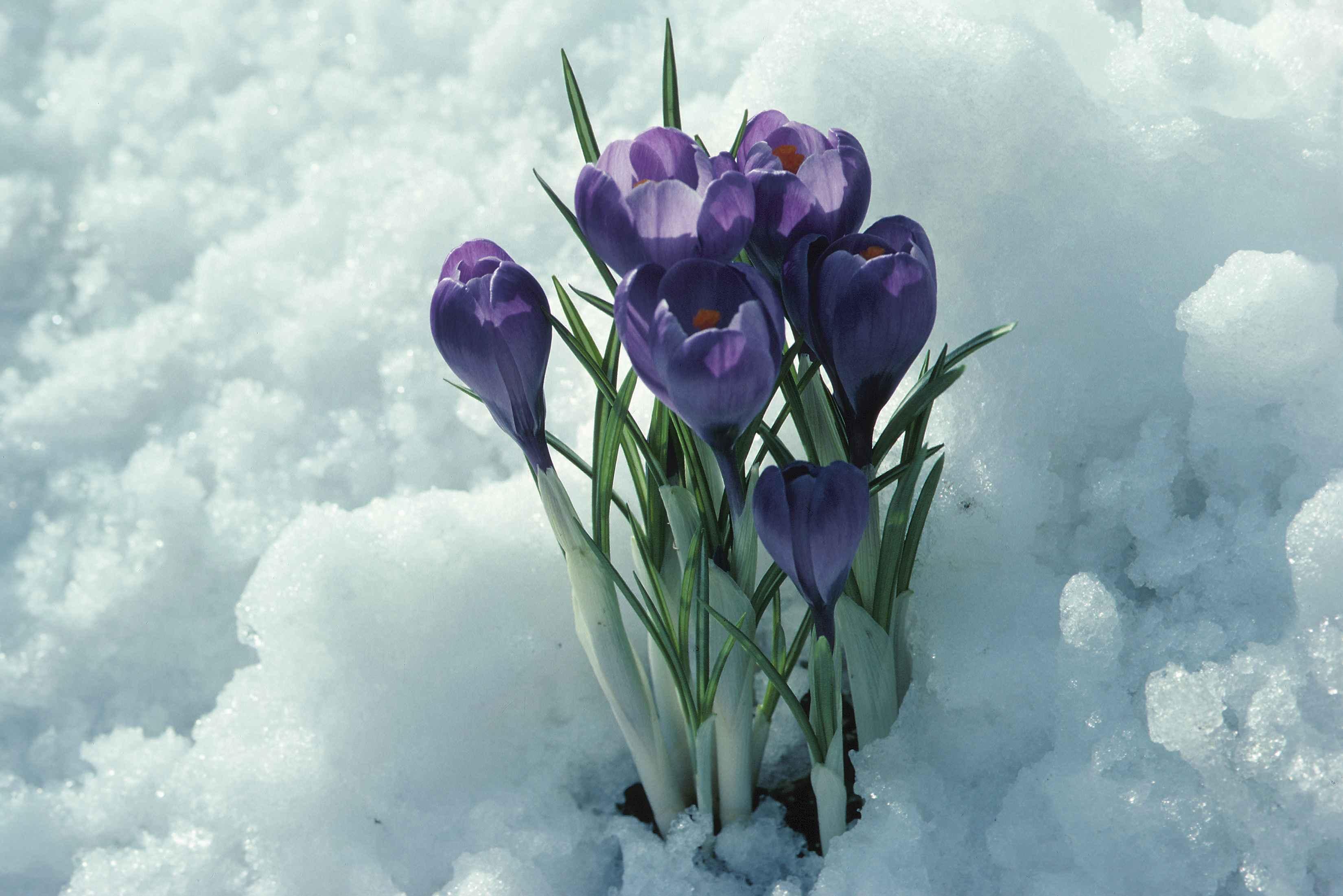 ice-flower-bloom