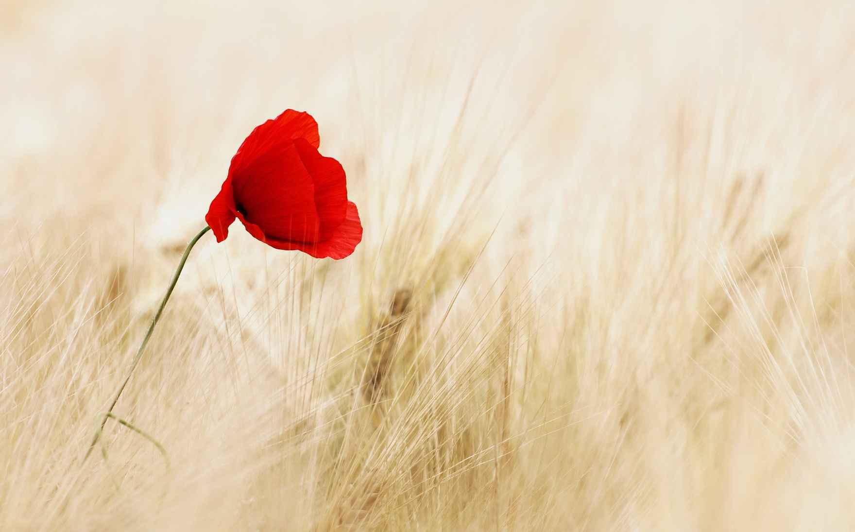 lone red poppy flower field